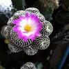 Kaktüs Çiçekleri