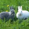 Tavşancıklar